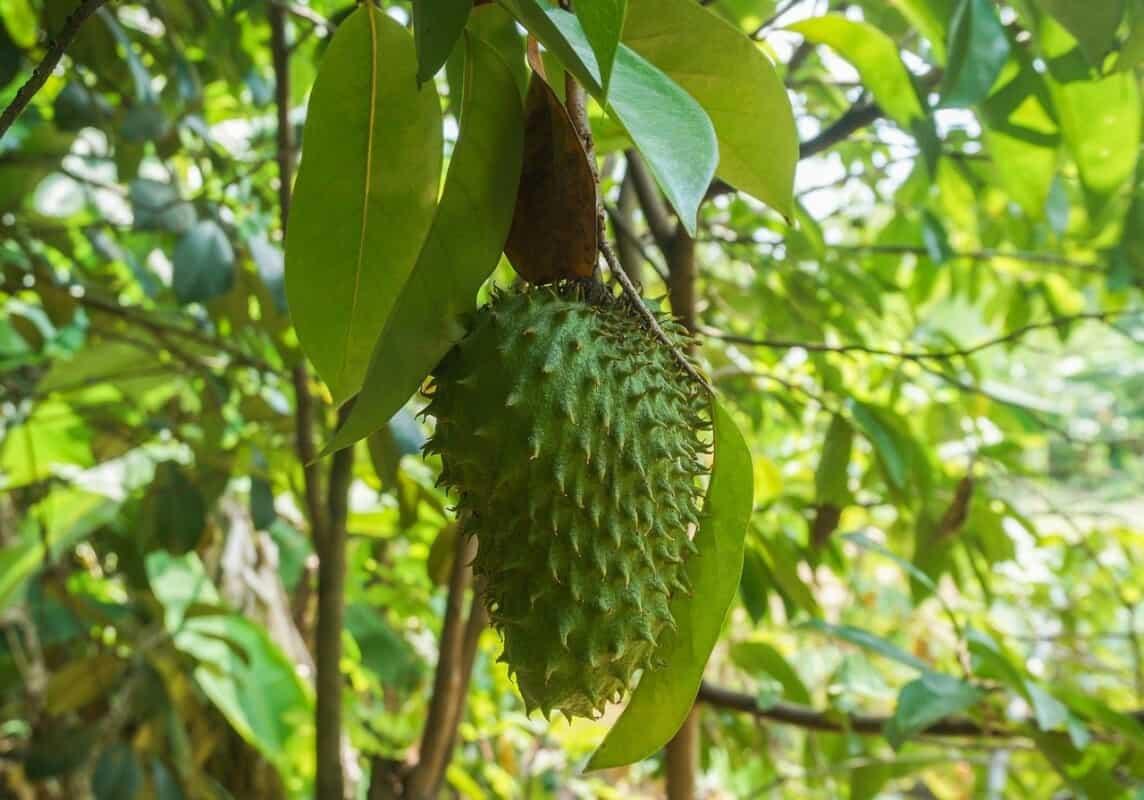 Fruit Soursop Tree Plant Medicine  - najibzamri / Pixabay