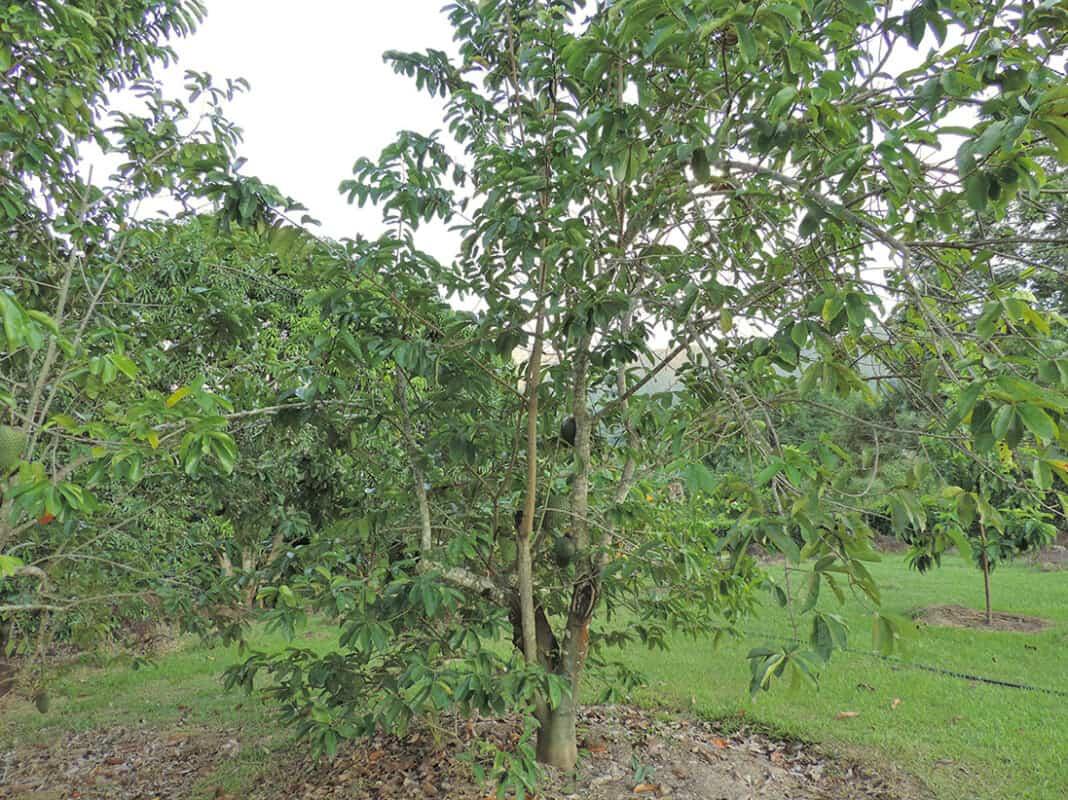 pianta di guanabana